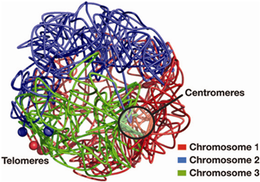 Modeled 3D structure of the fission yeast genome