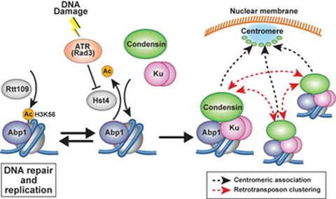 A schematic model for retrotransposon-mediated genome organization and its regulatory mechanism through histone H3K56 acetylation