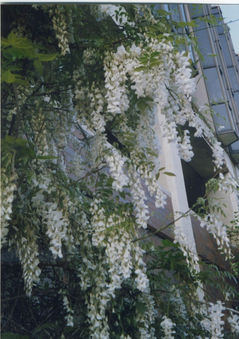 Wisteria outside the CRB