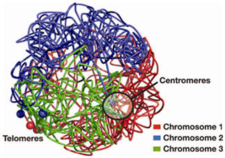 3D Fission Yeast Genome