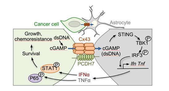 Chen Lab - Metastatic Brain Cancer Cells